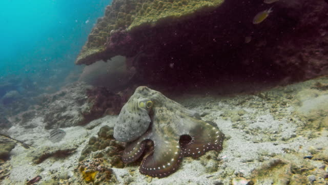Underwater reef Octopus (Octapus cyanea) camouflaged on coral reef