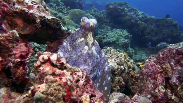 underwater reef octopus (octapus cyanea) camouflaged on coral reef - tentacle sucker stock videos & royalty-free footage