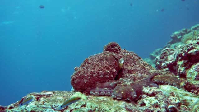 underwater reef octopus (octapus cyanea) camouflaged on coral reef - tentacle stock videos & royalty-free footage