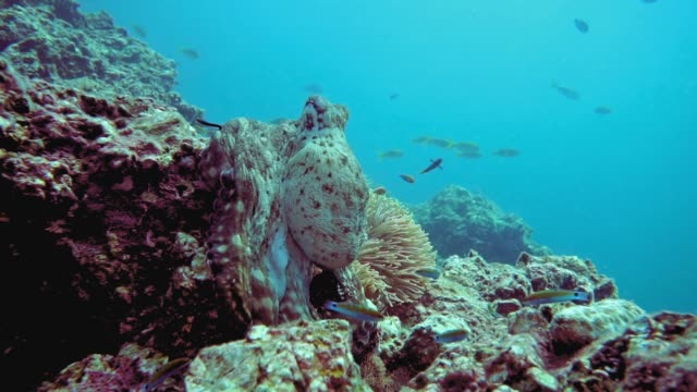 underwater reef octopus (octapus cyanea) camouflaged on coral reef - camouflage stock videos & royalty-free footage