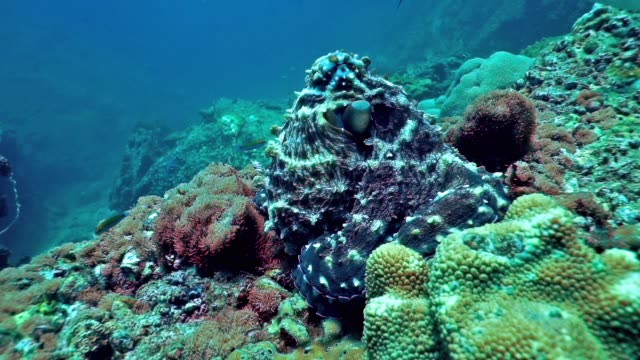 underwater reef octopus (octapus cyanea) camouflaged on rocks - camouflage stock videos & royalty-free footage
