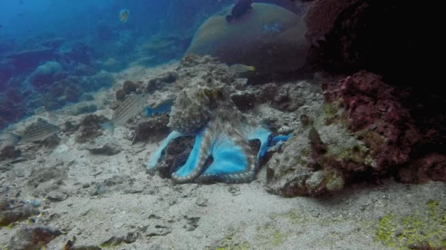 underwater reef octopus (octapus cyanea) extracting fish from rocks - disguise stock videos & royalty-free footage