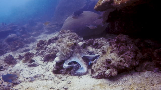 underwater reef octopus (octapus cyanea) hunting on coral reef - disguise stock videos & royalty-free footage