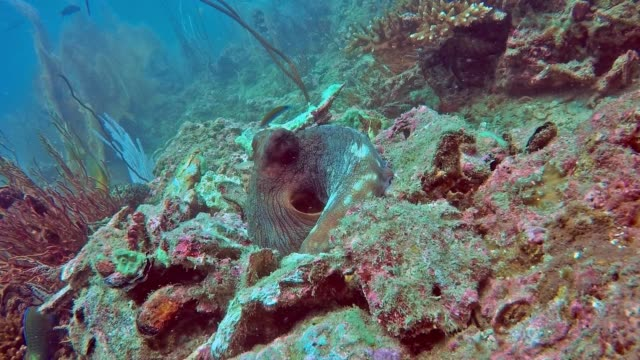 underwater reef octopus (octapus cyanea) within hide built from rocks - disguise stock videos and b-roll footage
