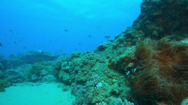 vidéos et rushes de underwater reef with large sea anemone and pair of clownfish - poisson clown à trois bandes
