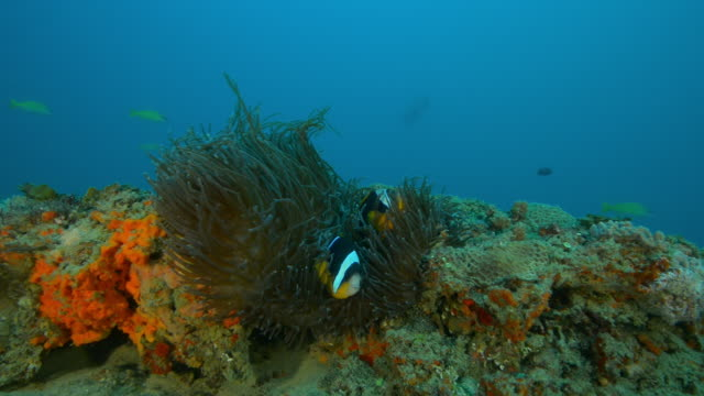 Underwater reef with large sea anemone and pair of Clownfish
