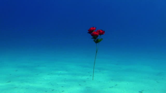 underwater rose - turquoise coloured stock videos and b-roll footage