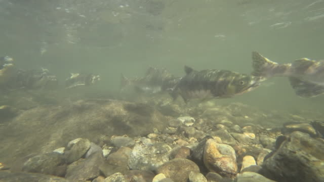 underwater, salmon running up river, hokkaido, japan - large group of animals stock videos & royalty-free footage