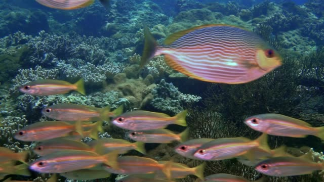 vídeos y material grabado en eventos de stock de escuela submarina de bigeye snapper (lutjanus lutjanus) pez en islas phi phi, tailandia - salirse de lo normal