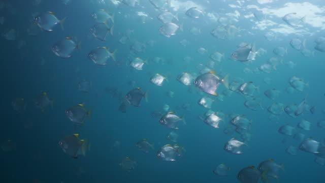 underwater school of diamond batfish - school of fish stock videos & royalty-free footage