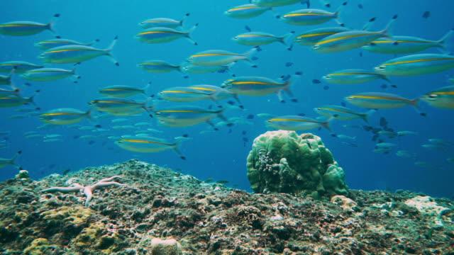 Underwater school of Fusilier fish
