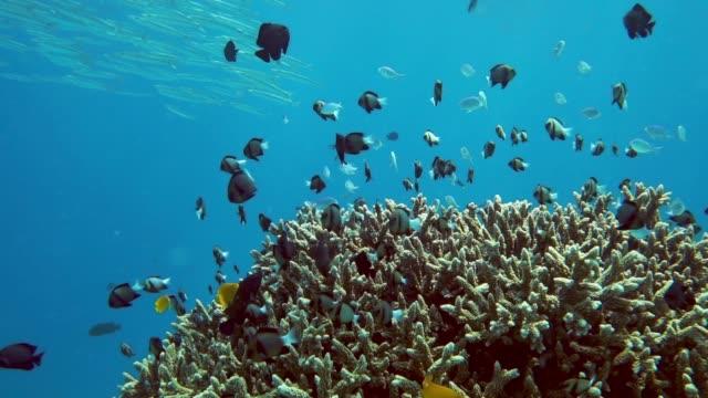 Underwater School of Indian Damselfish (Dascyllus cameus) on Staghorn Coral (Acropora) ecosystem