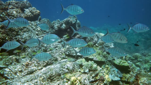 underwater school of juvenile bigeye trevally jack fish hunting - scuba diver point of view stock videos & royalty-free footage