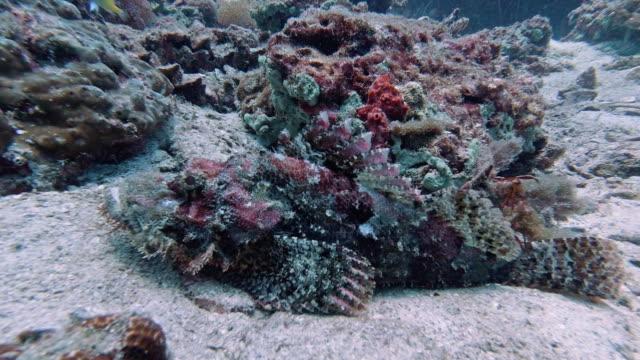 vidéos et rushes de scorpionfish sous-marin (scorpaenopsis oxycephaia) camouflé sur le récif corallien - fonds marins