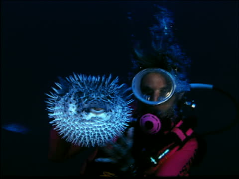 underwater scuba diver playing with puffer fish - balloonfish stock videos and b-roll footage