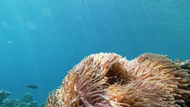 underwater sea anemone (heteractis magnifica) against clear blue sea background - indian ocean stock videos & royalty-free footage