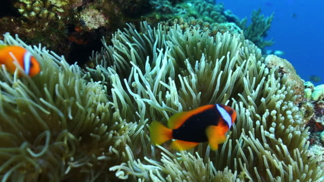 underwater; sea anemone with clownfish, okinawa, japan - koralle nesseltier stock-videos und b-roll-filmmaterial