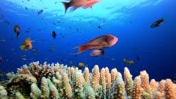 Underwater Sea Coral Reef