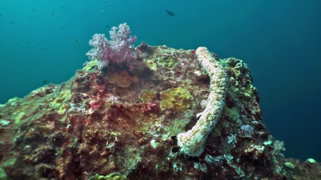 underwater sea cucumber (bohadschia graeffei) feeding on coral reef the ultimate in recycling - symbiotic relationship stock videos & royalty-free footage