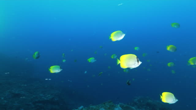 underwater; sea life of ogasawara, japan - tropischer fisch stock-videos und b-roll-filmmaterial