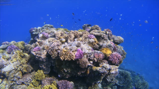 underwater sea life on coral reef with damselfish / red sea - red sea stock videos & royalty-free footage