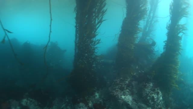 underwater: sea lion navigating through kelp forest - kelp stock videos & royalty-free footage