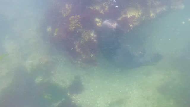 stockvideo's en b-roll-footage met underwater ms sea otter foraging on rocks - foerageren