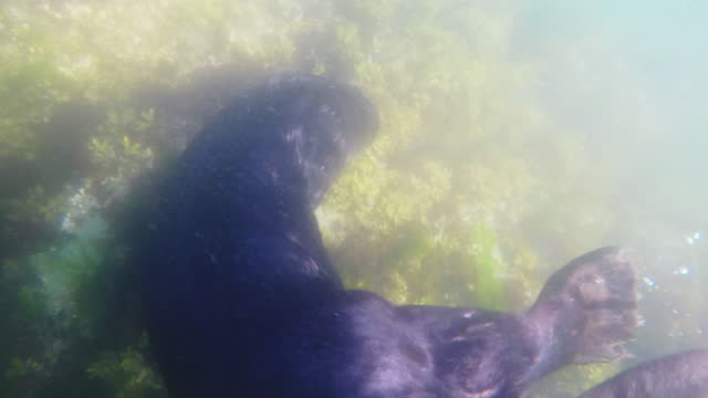 underwater cu sea otter foraging on rocks with bubbles - foraging stock videos & royalty-free footage