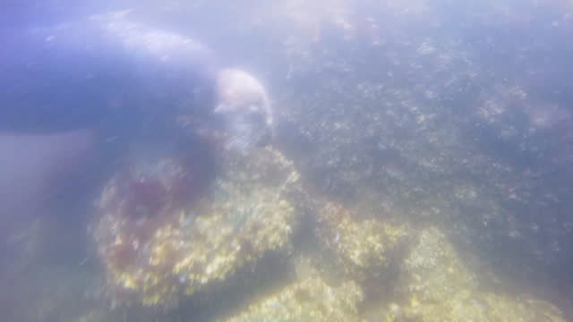 underwater cu sea otter foraging on seabed very close to camera - foraging stock videos & royalty-free footage