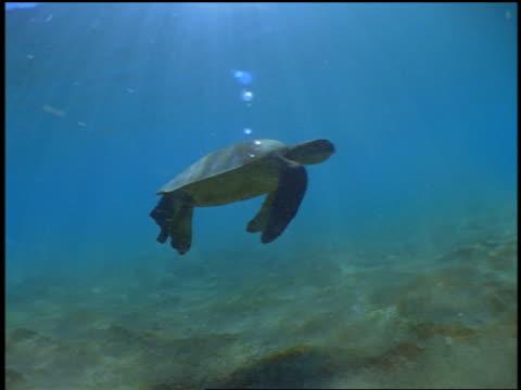 vídeos de stock e filmes b-roll de underwater sea turtle swimming near ocean floor / hawaii - organismo aquático