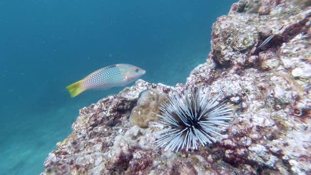 水中ウニ(エキノメトラママエイ)・アンダーマン海タイ - ウニ点の映像素材/bロール