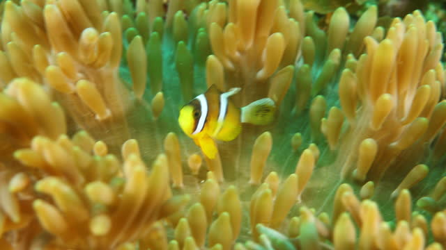 underwater) seas off minabe town - sea anemone stock videos & royalty-free footage