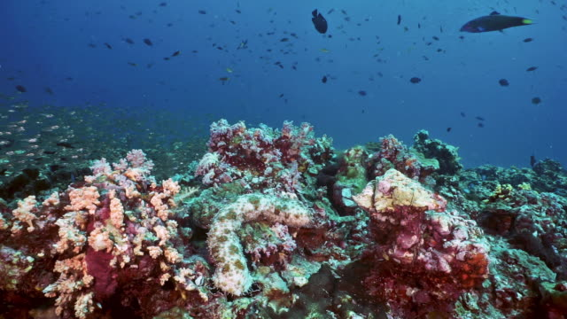 underwater seascape of coral reef containing sea cucumber - glass fish stock videos & royalty-free footage