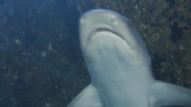 underwater, sharks in ogasawara, japan - whitetip reef shark stock videos & royalty-free footage