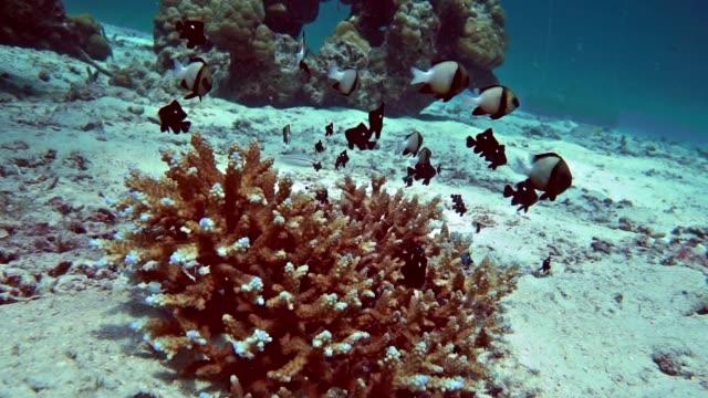 Underwater Shoal of Indian Damselfish (Dascyllus cameus)