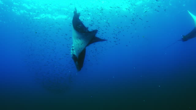 Underwater MS shoal of Lanternfish with Mobula Rays diving through it to feed
