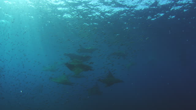 Underwater MS shoal of Lanternfish with Mobula Rays swimming through in background