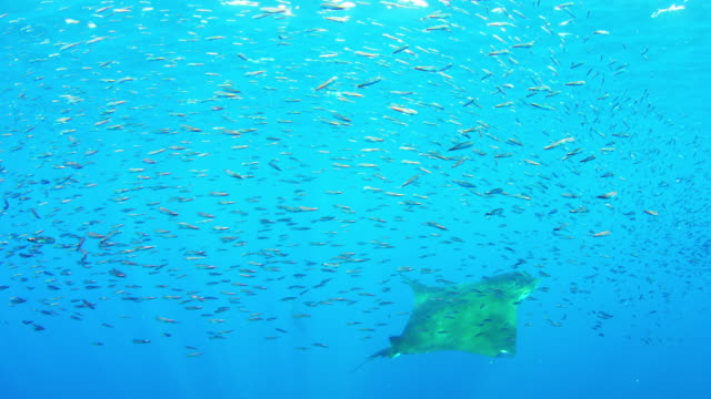 underwater ms shoal of lanternfish with mobula rays swimming through it - cetacea stock videos & royalty-free footage