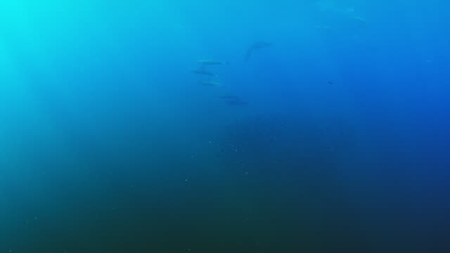 underwater ms shoal of lanternfish with spinner dolphin in background then 2 mobula rays diving through it to feed - spotted dolphin stock videos and b-roll footage