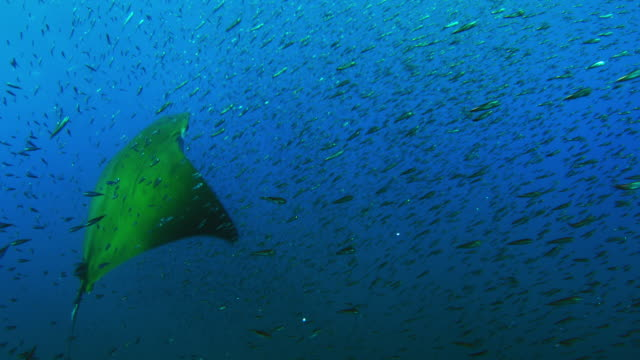 vídeos de stock e filmes b-roll de underwater ms shoal of lanternfish with spinner dolphin in background then group of mobula rays swim from camera through it to feed - golfinho pintado pantropical