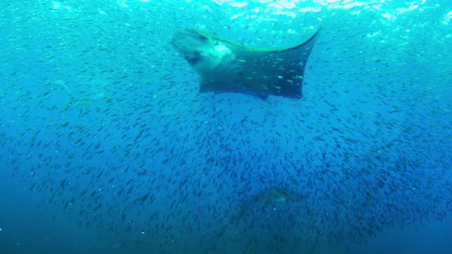 vídeos de stock e filmes b-roll de underwater ms shoal of lanternfish with spinner dolphin then group of mobula rays swimming to camera through it - golfinho pintado pantropical