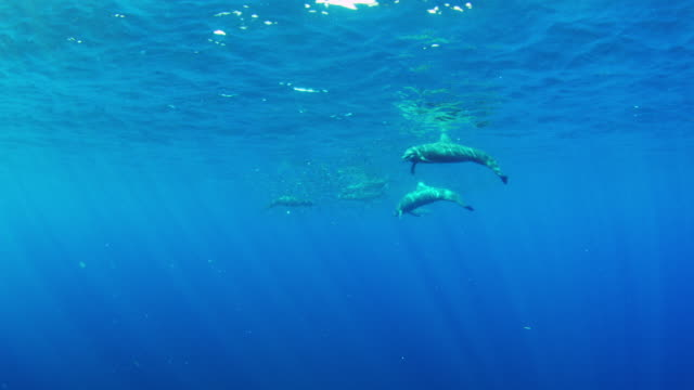 underwater shoal of lanternfish with spinner dolphins feeding on it and mobula rays swimming through - spotted dolphin stock videos and b-roll footage