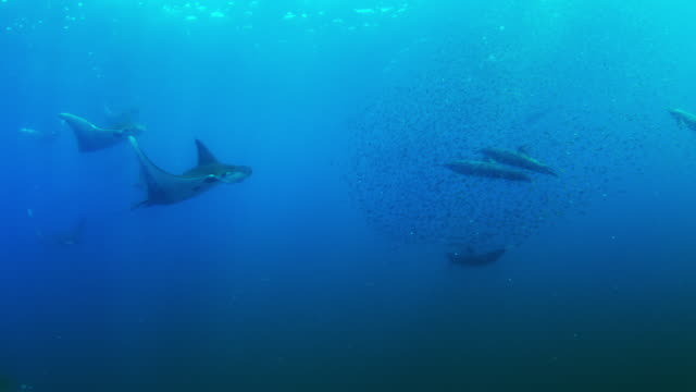 vídeos de stock e filmes b-roll de underwater ms shoal of lanternfish with spinner dolphins then mobula rays swimming to camera through it to feed - golfinho pintado pantropical