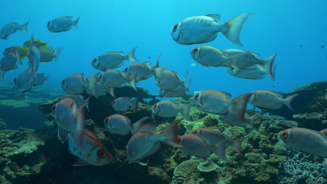 underwater shoal of priacanthus floating over reef - 40 o più secondi video stock e b–roll