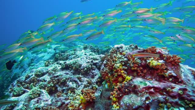 vídeos de stock e filmes b-roll de underwater shoal of snapper (lutjanus lutjanus) fish - mar de andamão