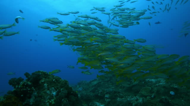 Underwater MS shoal of Yellow Goatfish and others floating above reef