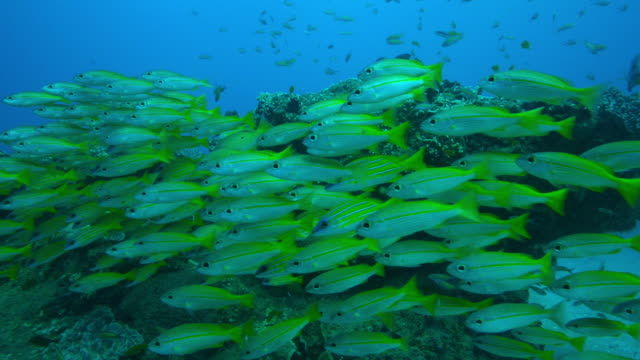 Underwater shoal of Yellow Goatfish Bluelined Snapper and others floating over reef