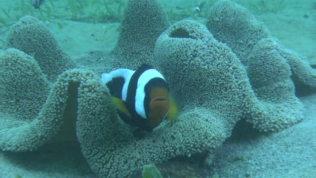 underwater shot and zoom in of pair of saddleback clownfish darting around an anemone - anemonefish stock videos & royalty-free footage