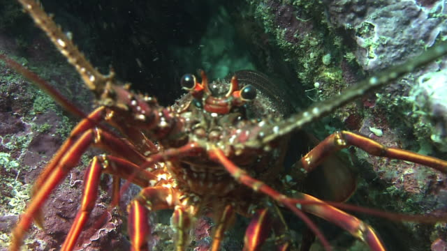 underwater shot close shot of a japanese spiny lobster coming out from under a rock walks toward the camera and jumps over it - ロブスター点の映像素材/bロール