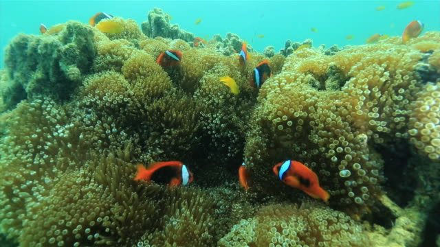"stockvideo's en b-roll-footage met underwater shot, close up shot of numerous tomato clownfish living among anemones at a diving spot referred to as ""kumanomi-jo"" by the local divers. - clownvis"